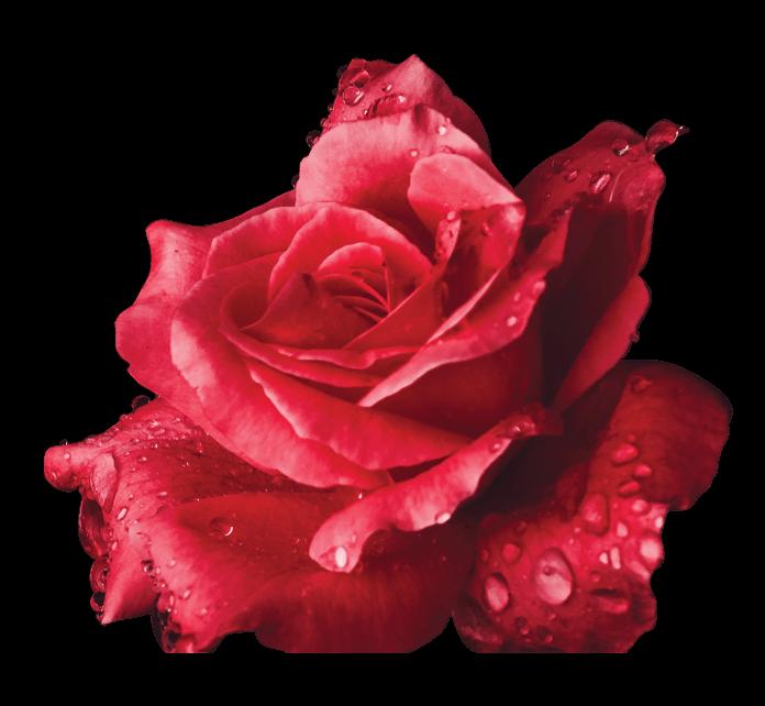 red.rose.tranparent